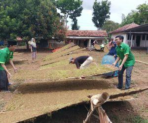 Diguyur Hujan, Petani Tembakau di Sumenep Terancam Merugi